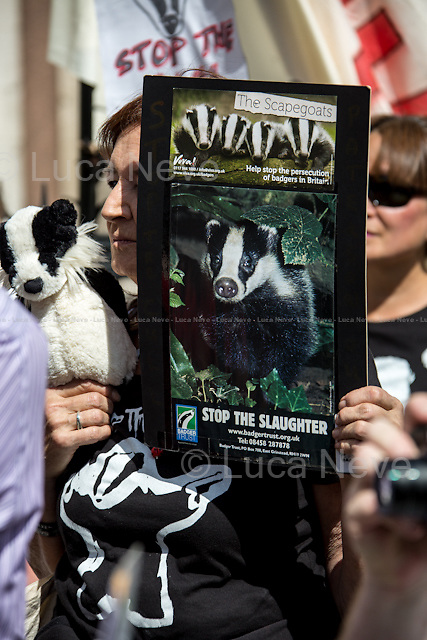 London, 21/08/2014. Today, the &quot;Badger Army&quot;, supported by &quot;Care for The Wild&quot; and &quot;Badger Trust&quot;, held a demonstration outside the Royal Courts of Justice to highlight the ongoing Judicial Review Hearing between the &quot;Badger Trust&quot; and DEFRA (Department for Environment, Food &amp; Rural Affairs). From the &quot;Badger Trust&quot; website: &lt;&lt; [&hellip;] The Judicial Review will argue that DEFRA and Natural England have failed to put in place any Independent Expert Panel for the planned culling of badgers in Gloucestershire and Somerset in 2014. The Trust contends such a Panel is needed to oversee the design of data collection, its analysis and interpretation. Without this, there can be no proper assessment of the safety, effectiveness and humaneness of the culling operation, something that would be needed before any lawful decision to continue with further culls around the country. [&hellip;]&gt;&gt;.<br />  <br /> For more information please click here: http://bit.ly/1ogMy3q
