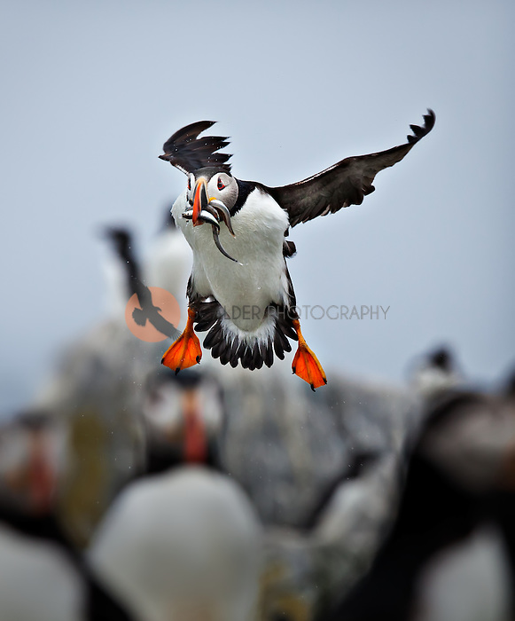 Puffin coming in to land with multiple fish in beak and water droplets flying