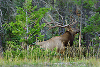 Rocky Mountain Elk bull (Cervus elaphus).  Northern Rockies.  Fall.