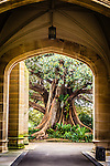 Moreton Bay Fig Tree through the arch at Government House in Sydney, NSW, Australia