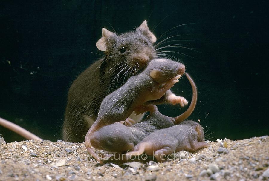 Hausmaus, Haus-Maus, Maus, mit Jungen, Jungtieren, Mäuschen, Mus musculus, house mouse