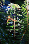 Sword fern at Butano State Park