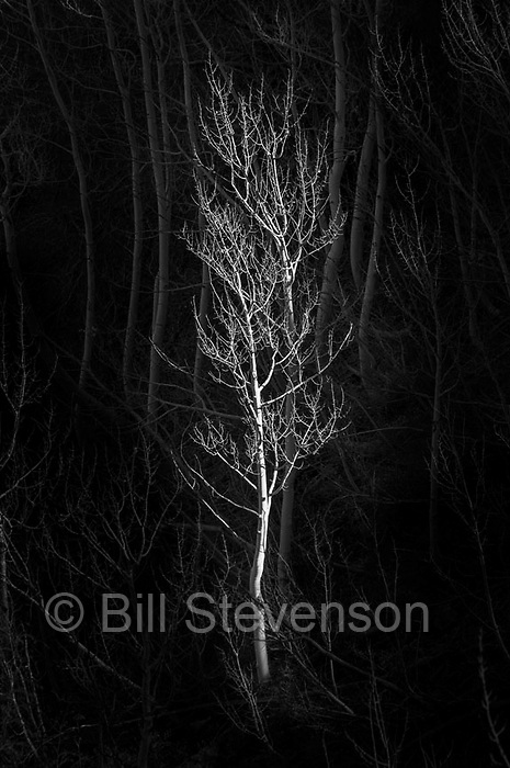 A picture of an illuminated leafless aspen tree.