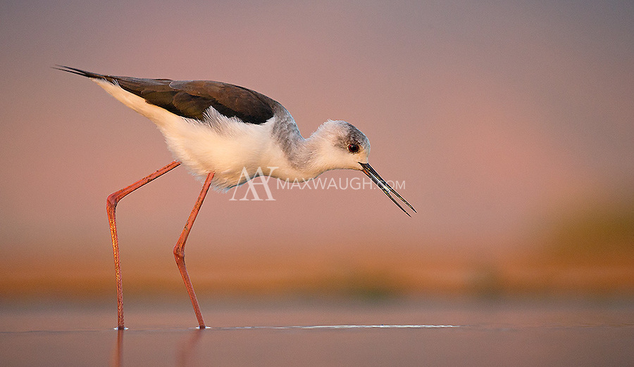 A Black-winged stilt gets a drink in a pond at Zimanga Game Reserve.