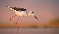 A Black-winged stilt gets a drink in a pond at Zimanga Game Reserve.