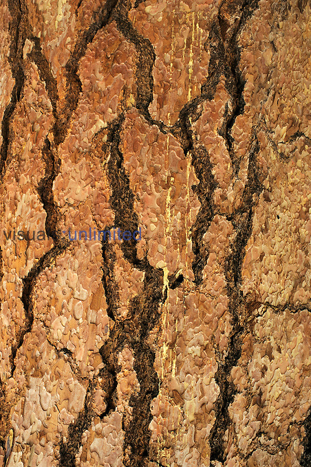 Bark of Ponderosa Pine (Pinus ponderosa), Deschutes National Forest, Oregon, USA