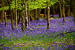 Bluebell Wood England 2015