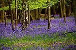 Bluebell Wood England 2015