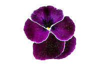 Sakata_Pansy_100-000-5835_Pansy_wittrockiana_ Ultima_Purple_Lace