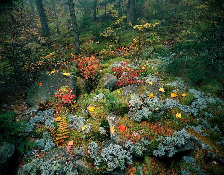 """""""Lichen   moss in Spruce   Fir forest, Spruce Knob   WEST VIRGINIA"""""""