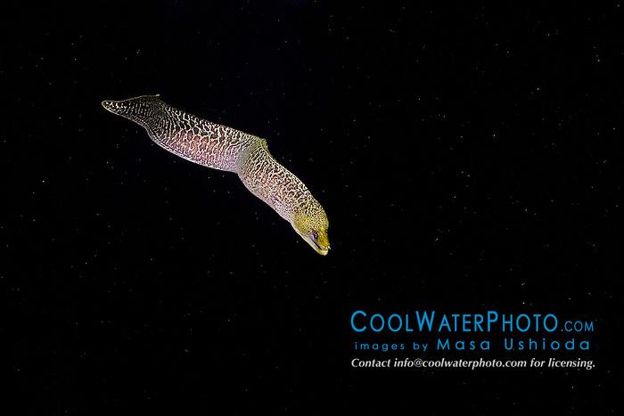 Undulated Moray, Gymnothorax undulatus, hunting at night, off Kona Coast, Big Island, Hawaii, Pacific Ocean