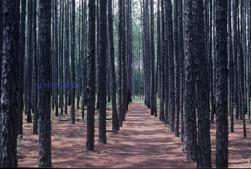 Tree farm of Southern Pines for pulpwood, showing straight rows and even distancing of same-age trees.