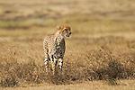 Africa NGORONGORO CRATER    Cheetah