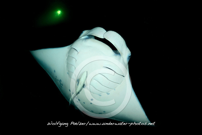 Manta alfredi, Riffmanta beim Fressen in der Nacht, Nachttauchgang, Feeding Reefmanta during Nightdive, Malediven, Indischer Ozean, Ari Atoll, Fesdhoo Lagoon, Fesdhoo Faru,  Maldives, Indian Ocean