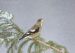 Evening Grosbeak (Coccothraustes vespertinus) female perched on spruce branch in winter, New York, USA