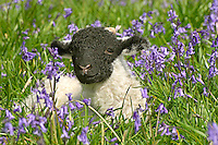 Swaledale lamb in  Bluebells, New Hey Farm, Dunsop Bridge, Lancashire.