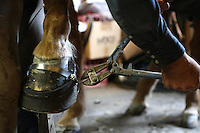 "Farrier Todd Graham from Chehalis, Wash., adjusts the band over the top of See My Magic, a 13 year old Tennessee Walking Horse, in Roy, Wash. after putting on his horse shoes.  Graham, who has been a horseshoer for 20 years, says its like trimming fingernails. He is the only farrier currently in Western Washington who will put show shoes on horses. ""There's not very many of those around anymore,"" he says of the performance show riders. He says people got out of it because its expensive to keep these horses and many riders got sick of the regulations. (photo © Karen Ducey / Animal News Northwest)"