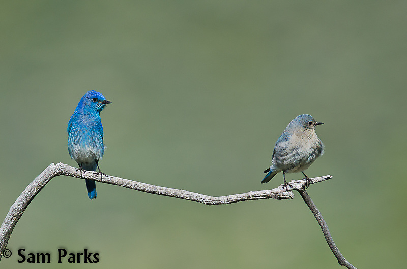 Mountain bluebird pair. Yellowstone National Park, Wyoming.