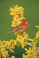 House Finch, Carpodacus mexicanus,male on blooming Blackbrush Acacia (Acacia rigidula) , Lake Corpus Christi, Texas, USA