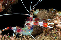 Boxer Shrimp with eggs, Stenopus hispidus, night dive, Slow Poke dive site, Lembeh Straits, Sulawesi, Indonesia, Pacific Ocean