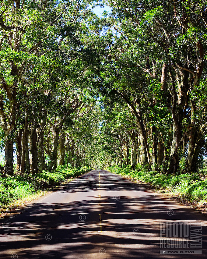 Tree tunnel on Kauai's south shore.