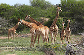Bob, ANIMALS, REALISTISCHE TIERE, ANIMALES REALISTICOS, wildlife, photos+++++,GBLA3911,#a#, EVERYDAY ,giraffe,giraffes