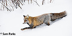 Red fox (cross) in winter. Grand Teton National Park, Wyoming.