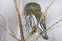 Northern Pygmy Owl sitting on a frostry tree