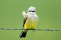 554600001 a wild western kingbird tyrannus verticalis perches on a barbed wire fence near neals lodge in the texas hill country of central texas