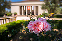 Flowering roses near the entrance to Thorne Hall, May 2, 2013. (Photo by Marc Campos, Occidental College Photographer)