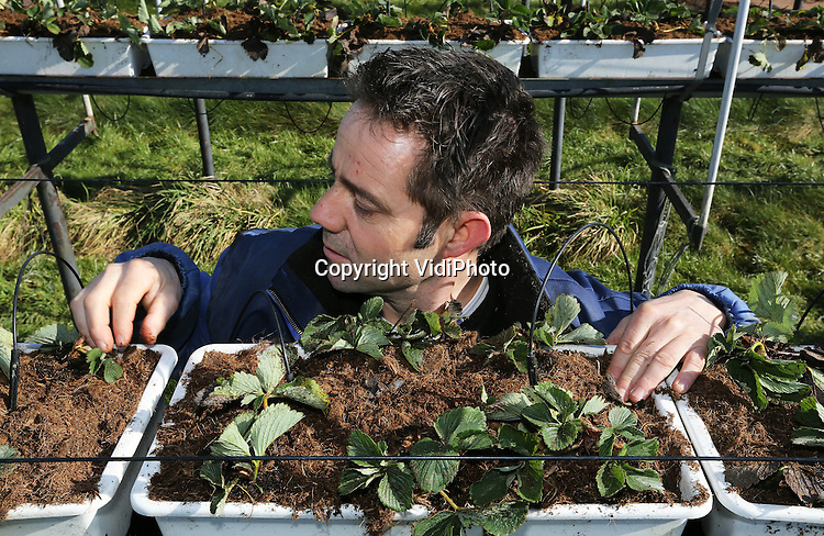 Foto: VidiPhoto..ST. MICHIELSGESTEL - Aardbeienteler Peter van de Ven uit het Brabantse St. Michielsgestel maandag aan het werk bij zijn aardbeienstellingen. Door de lange en koude winter kunnen de jonge aardbeienplantjes nu pas gepoot worden, bijna vier weken later dan normaal. Van de Ven bezit in totaal 10 ha. aardbeien. Om op tijd te kunnen oogsten moet er nu flink doorgewerkt worden. De aardbeienplantjes zijn nog nooit zo laat de grond in gegaan. De Brabantse aardbeienteler oogst in juni elsanta's en de zeldzame smaakvolle lambada's..