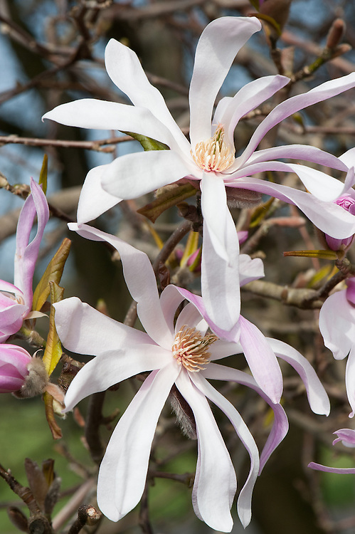 Magnolia x loebneri 'Leonard Messel', late March.