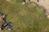 Wachsrose, Anemonia viridis, Anemonia sulcata, snakelocks anemone, Anémone de mer verte, Actinie verte, Anémone commune, Ortique, Anémone beignet, Ortie de mer, Seeanemone, Seeanemonen, sea anemones, Blumentier, Blumentiere, Anthozoa