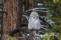 01128-00203 Great Gray Owl (Strix nebulosa) Yellowstone National Park, WY