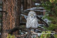 01128-00203 Great Gray Owl (Strix nebulosa) Yellowstone National Park, WY