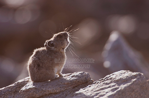 American Pika, Ochotona princeps,adult on rock calling,Rocky Mountain National Park, Colorado, USA