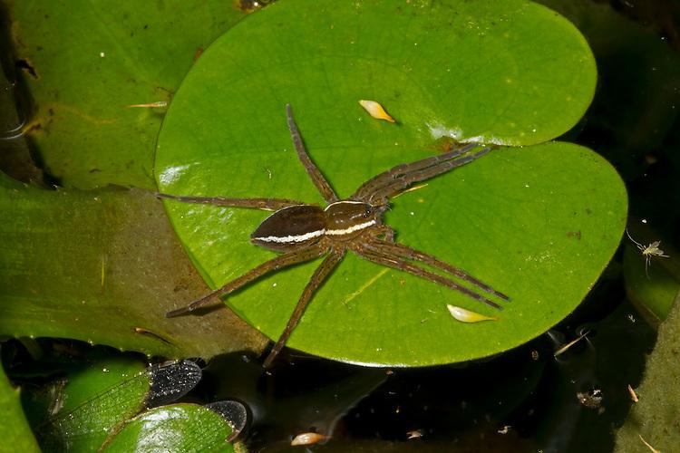 Fen Raft Spider - Dolomedes plantarius