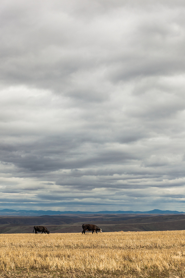 Two cows are seen grazing on the straw under a cloudy sky in Wheeler County, Oregon.