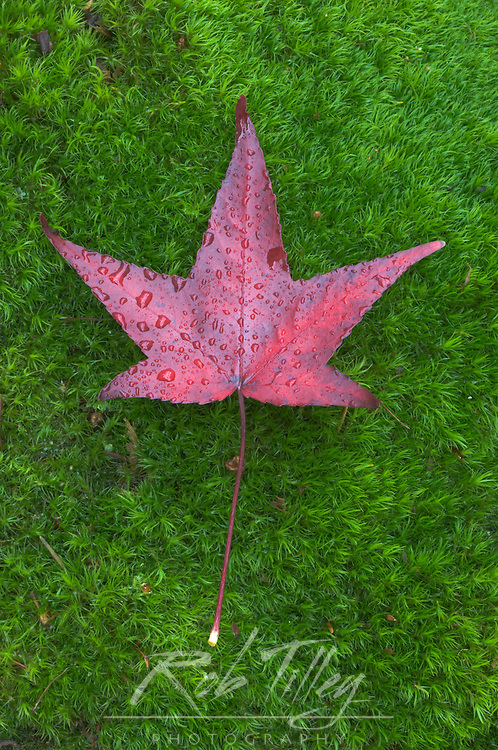 Sweet Gum Leaf on Moss, WA, USA