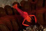 Imperial shrimp (Periclimenes imperator) on a sea cucumber.