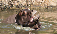 Two male Hippopotamuses, Hippopotamus amphibius, sparring in a pond in Serengeti National Park, Tanzania
