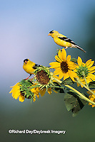 01640-03111 American Goldfinch male (Carduelis tristis) on Common Sunflower (Helianthus annuus)   IL