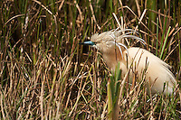 Squacco Heron (Ardeola ralloides)<br /> RANGE; Breed in Southern Europe &amp; Greater Middle East. Migrant, wintering in Africa. <br /> They feed on insects, fish &amp; amphibian. Breed in marshy wetlands in small colonies often with outehr wading birds.<br /> Wetland Reserve<br /> Do&ntilde;ana National &amp; Natural Park. Huelva Province, Andalusia. SPAIN<br /> 1969 - Set up as a National Park<br /> 1981 - Biosphere Reserve<br /> 1982 - Wetland of International Importance, Ramsar<br /> 1985 - Special Protection Area for Birds<br /> 1994 - World Heritage Site, UNESCO.<br /> The marshlands in particular are a very important area for the migration, breeding and wintering of European and African birds. It is also an area of old cultures, traditions and human uses - most of which are still in existance.
