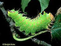 LE41-023z  Polyphemus Moth - caterpillar eating - Antheraea polyphemus