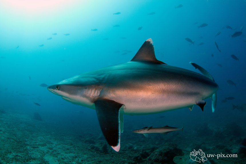 The silvertip shark (Carcharhinus albimarginatus) is a large species of requiem shark, with a fragmented distribution throughout the tropical Indian and Pacific Oceans. This species is often encountered around offshore islands and coral reefs, and has been known to dive to a depth of 800 m. The silvertip shark can be easily identified by the prominent white margins on its fins. It attains a maximum length of 3 m.<br />