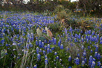 Stock Photo of Texas Bluebonnets (Lupine subcarnosus), and Prickly Pear cactus (Opuntia sp), and Yucca Plants in the Texas Hill Country near Lake Buchanan