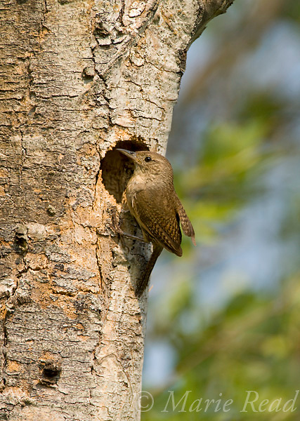 House Wren (Troglodytes aedon) outside its nest cavity, Ithaca, New York, USA