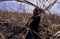 Brazilian acculturated Indian works as sugarcane cutter,  Mato Grosso do Sul State, Mid-west Brazil.
