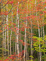 Red Maple & Birch Forest