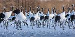 Japan, Hokkaido, red-crowned or Japanese crane (Grus japonensis)